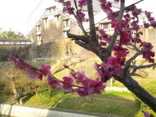 酒蔵と梅の花